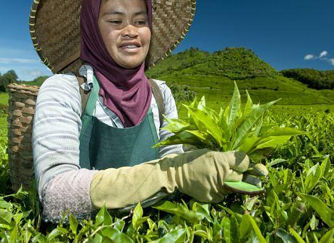 Woman harvesting tea leaves