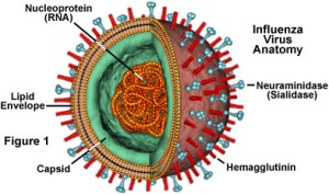 The influenza virus.